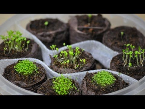 Посев семян лобелии ,петунии.Торфяные таблетки - YouTube