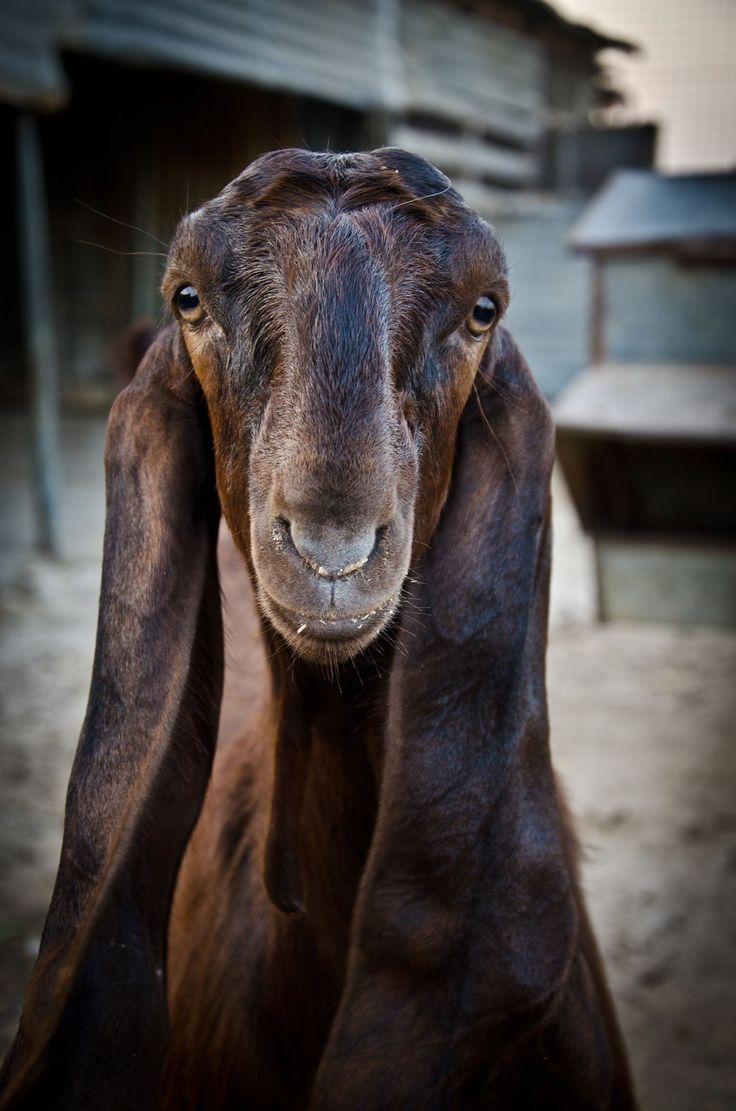 Damaascus Goat, unique animal, long ears, Shami Goat