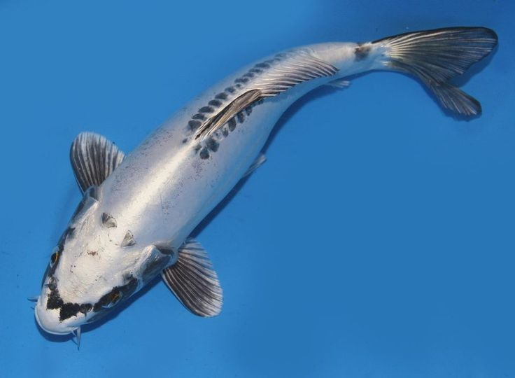 Live koi fish 10 11 white doitsu matsuba ghost koibay for White koi carp fish
