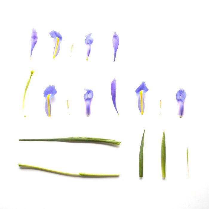 Sarah Blythe - Deconstructing Flora 2011 - Iris  www.sarahblythe.com