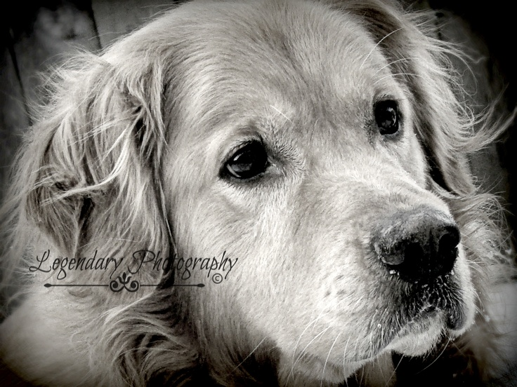 Golden companion for life brodie legendary photography