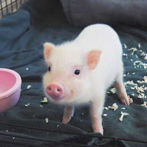 全身の毛が白い豚