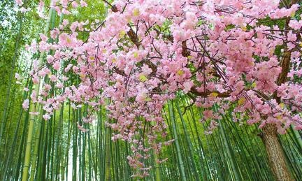 Cherry blossom in S Korea