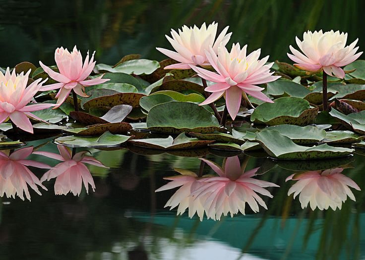 Serenity | The lily pools at the NY Botanical Garden for the… | Flickr