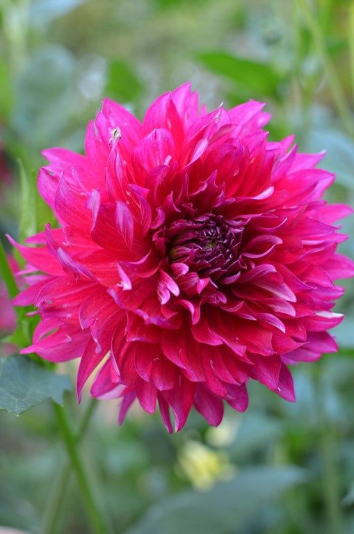 317 Best Images About Dahlias On Pinterest Old Houses Shops And Hot Pink