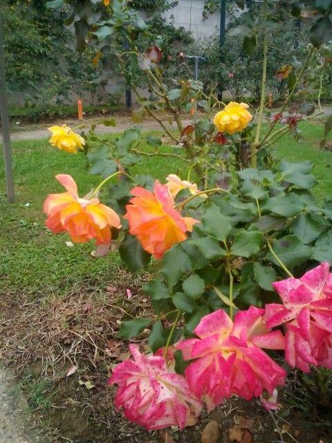 Trandafiri roz - portocalii