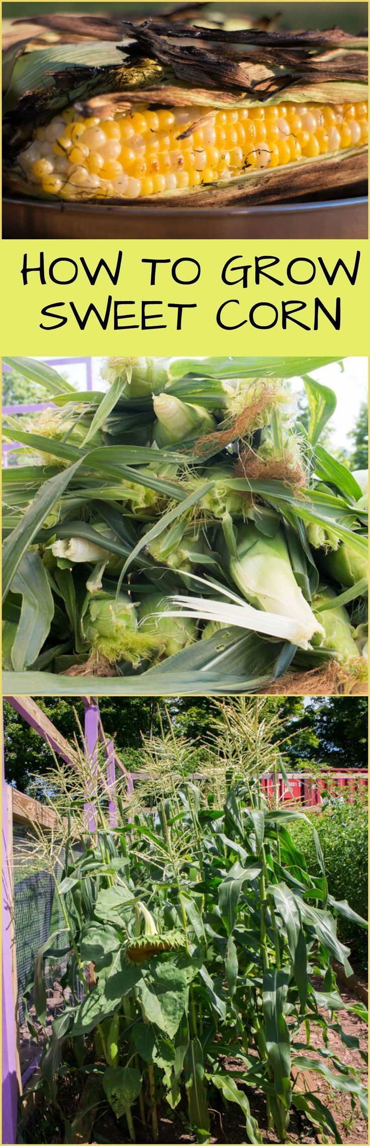 How to Grow Sweet Corn   Brooklyn Farm Girl