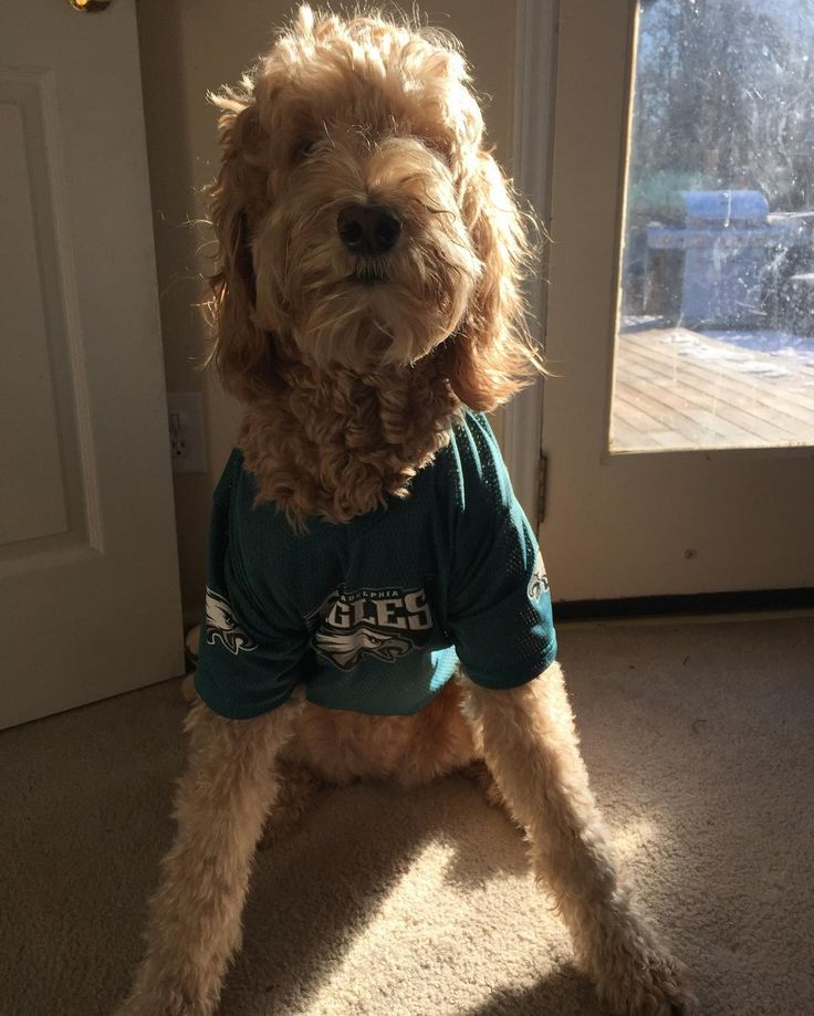 Bella is ready to watch football today- ready for the Panthers Saints game! #philadelphiaeagles #eagles #philly #football #flyeaglesfly