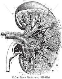 Image result for DRAWINGS OF KIDNEYS