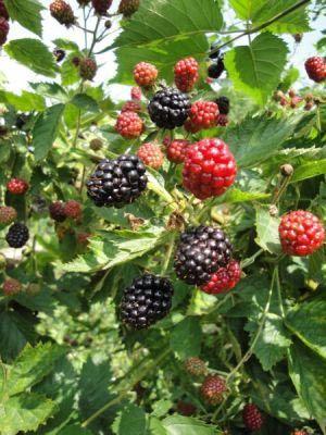 Brombær, sortsvalg, plantning og pasning