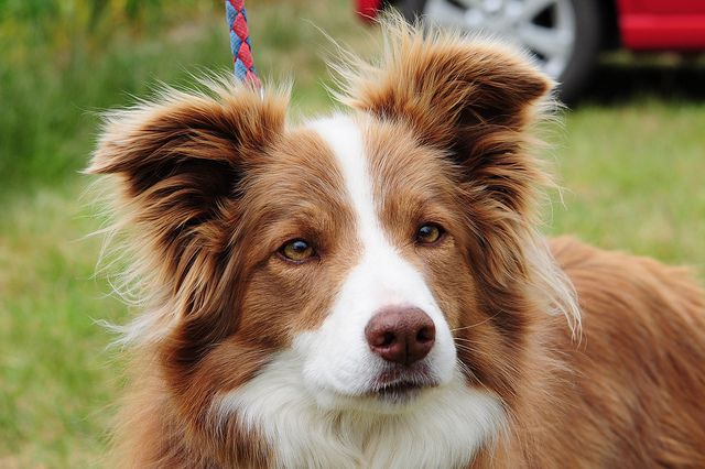 Tess, red / white border collie