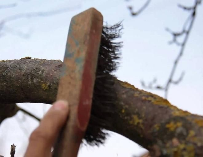 Очистка плодового дерева от мха и лишайников