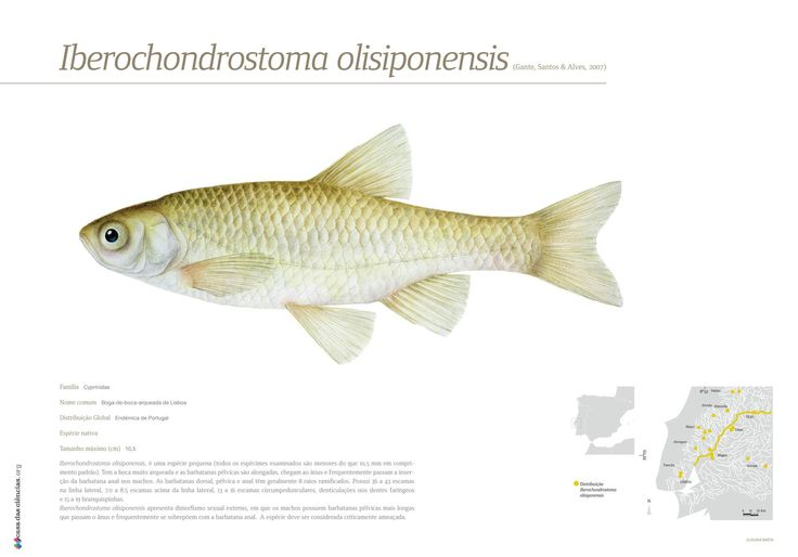Ilustração da espécie Iberochondrostoma olisiponensis, uma espécie endémica de Portugal.