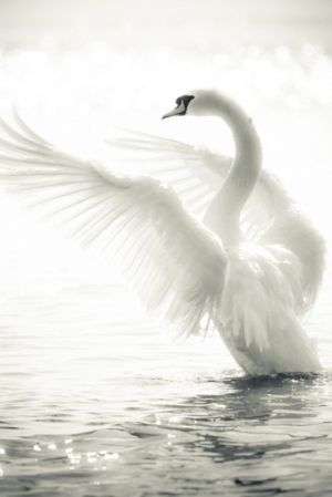 Swan getting on its wings by Dittekarina