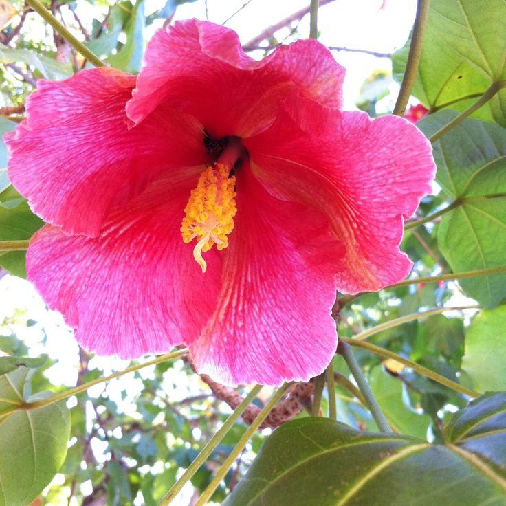Puerto Rico maga / flor de maga (Thespesia grandiflora