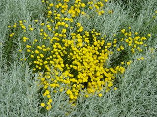 Santolina chamaecyparissus (lavender cotton) - mediterranean - landscape - by WBLA_Corky