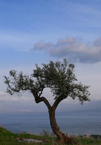 Cap 6: Alejandra contó la leyenda sobre el olivo. Fue el regalo que la Atenea les hizo a los habitantes de la cuidad como su diosa protectora.