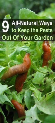 9 All-Natural Ways To Keep Pests Out Of Your Garden | Posted by: SurvivalofthePrepped.com #gardeningvegetable