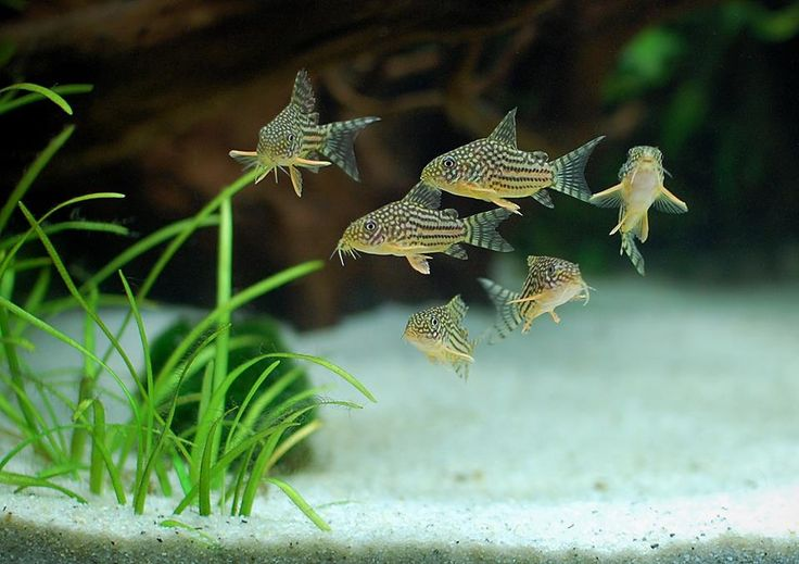 Corydoras sterbai are very much happier, as are all Cories, Aspidoras, Brochis, and related genera when in schools.