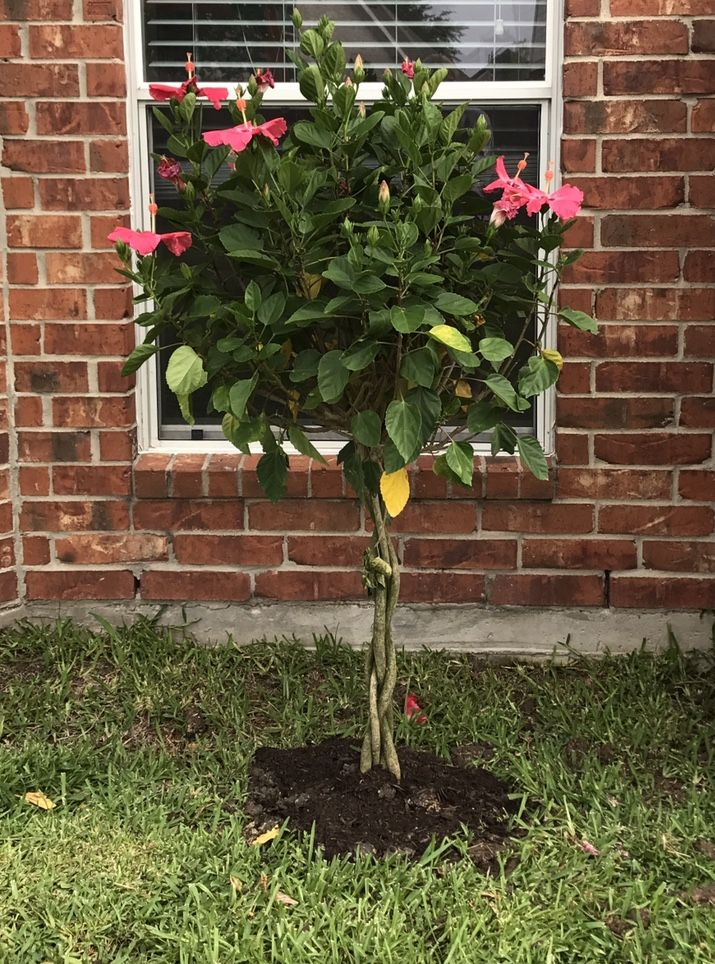 Tropical Hibiscus Braided Tree With Images Plants Garden