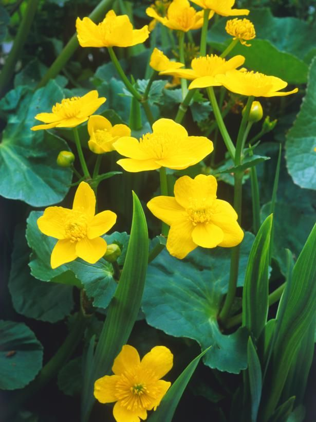 pond construction tutorial  (shown: marsh marigold, prefers shallows around edge)