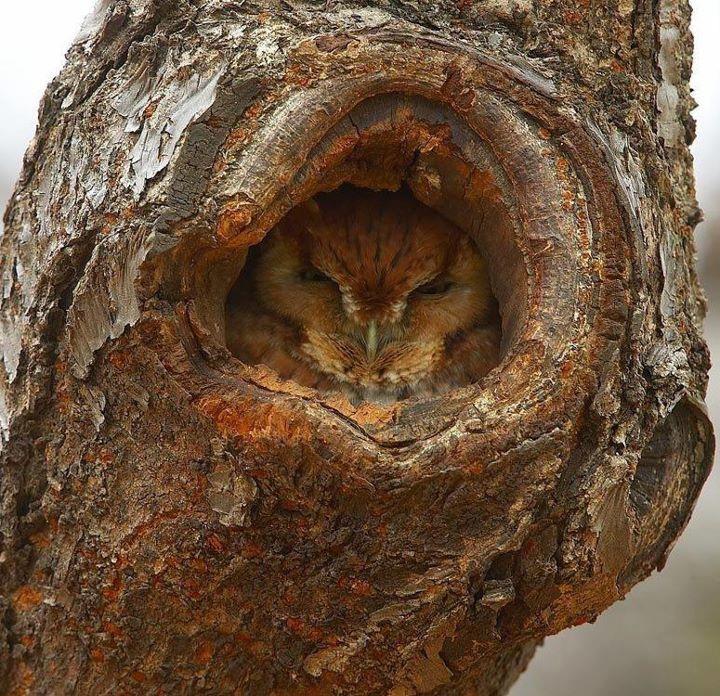 hidden owl: Hoot Owls, Animals Camouflag, Amazing Owls, Animals Insects, Animal Friends, Hooty Hoots Owls, Animal Photos, Science Nature Animals
