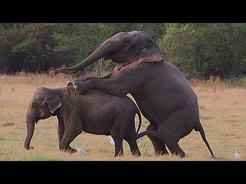 Elephant Making Love |  Learn About The Mating Of Big Animals. - YouTube