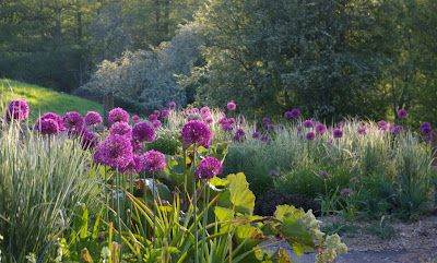 Allium hollandicum 'Purple Sensation' in the gravel bed, following on from the tulips and, like them, looking lovely with Calamagrostis 'Overdam'. - John Grimshaw's Garden Diary