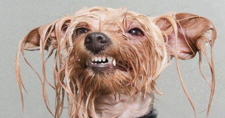 Les chiens sont adorables. Pourtant lorsqu'elles sont toutes mouillées, ces boules de poils perdent un peu de leur charme. Que ce soit après le bain ou pendant une grosse averse, elles reviennent trempées et l'odeur qu'elles dégagent n'est pas toujours agréable. Au