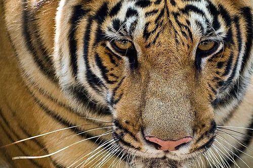 Spot de Bengaalse Tijger in het wild!  http://www.333travel.nl/tour/india-nepal/landarrangement-nepal-highlights?productcode=T1757