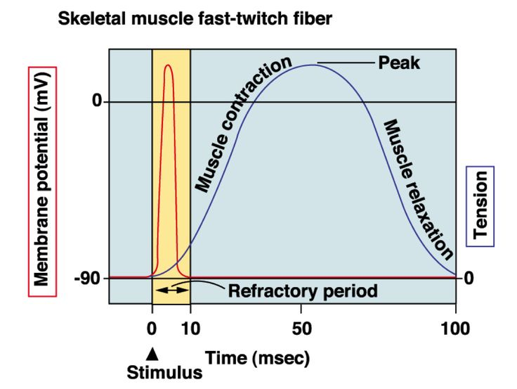 cardiac action potential refractory period - Google Search