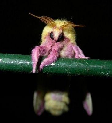 The Venezuelan Poodle Moth he does kinda like a dog