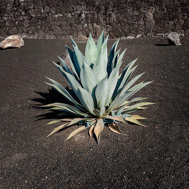 Agave, Playa Blanca (Lanzarote, Spain) | Flickr - Photo Sharing!