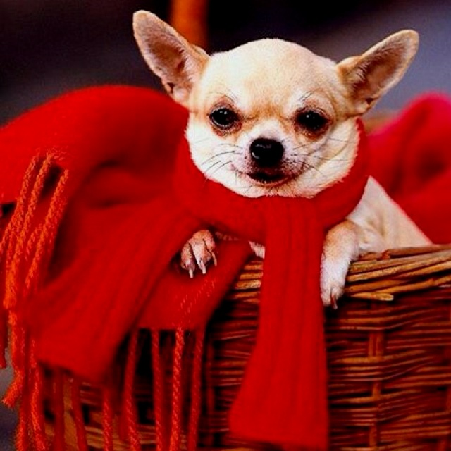156 Best Chihuahua Black Amp Tan Images On Pinterest