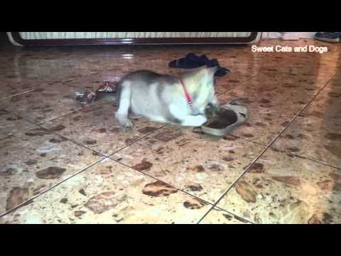 Husky Puppy Play With  Shoes Too Cute!