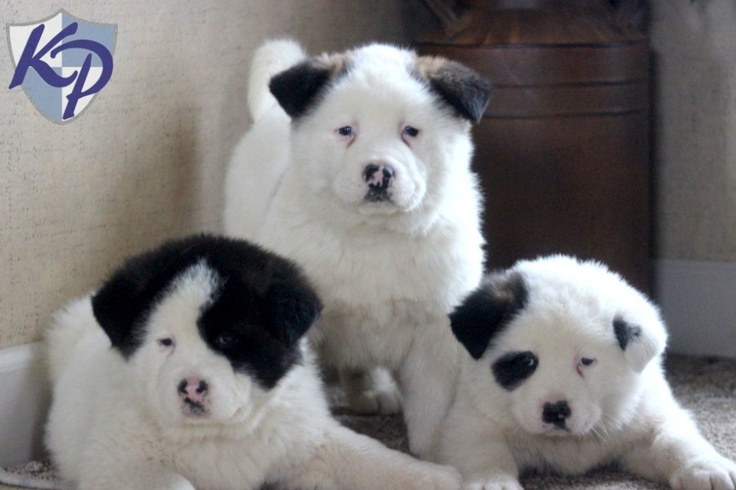 Ruffus – Akita Puppies for Sale in PA | Keystone Puppies