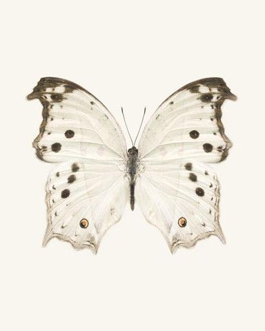 Mother-of-Pearl Butterfly Photo - fine art print by Allison Trentelman | rockytopstudio.com