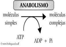 11 - CURSO 02 - ENERGIA Y METABOLISMO - Las reacciones anabólicas, en cambio, utilizan esta energía liberada para recomponer enlaces químicos y construir componentes de las células como lo son las proteínas y los ácidos nucleicos. El catabolismo y el anabolismo son procesos acoplados que hacen al metabolismo un conjunto, puesto que cada uno depende del otro.