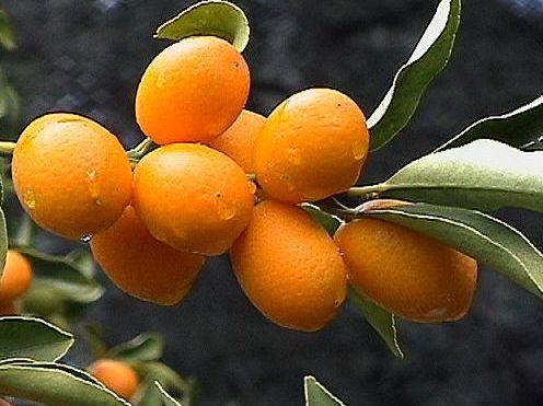 Kumquat, fruit of Corfu - Κουμ κουατ, το φρούτο της Κέρκυρας | Smile Greek