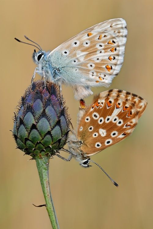 Copulation of Chalkhill Blue (Lysandra coridon). a good example for sexual  dimorphism, on the right the female on the left the male butterfly - sigma  macro: ...