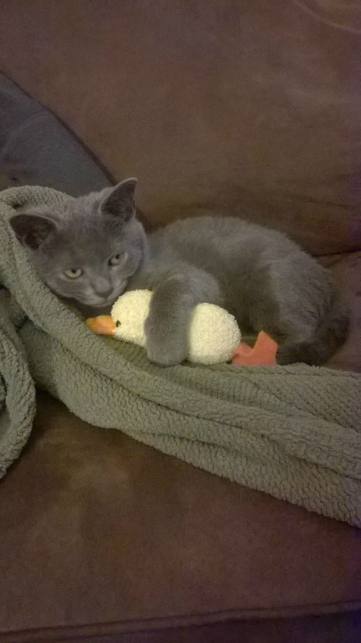 98 best Russian Blue Cats images on Pinterest