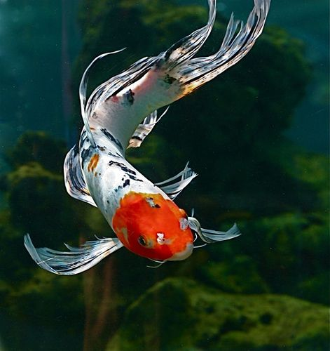 Fantail Goldfish by Chi Liu, via Flickr (Note from Dia.T: Looks like a Koi to me)