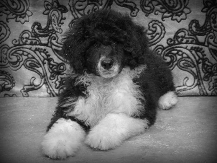Kybra's Bay & Rum puppy www.kybrakennels.ca