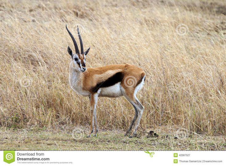 The Thomson's gazelle (Eudorcas thomsonii)