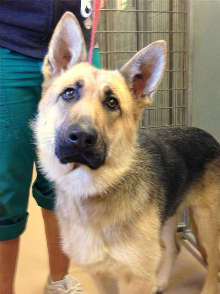 beautiful gsd all german shepherds all the time