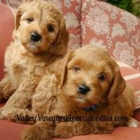 """Read more here to get prices, process, health assurances and """"extras"""" that come with your new pup. Click the picture or title of post to access this info.Read More"""