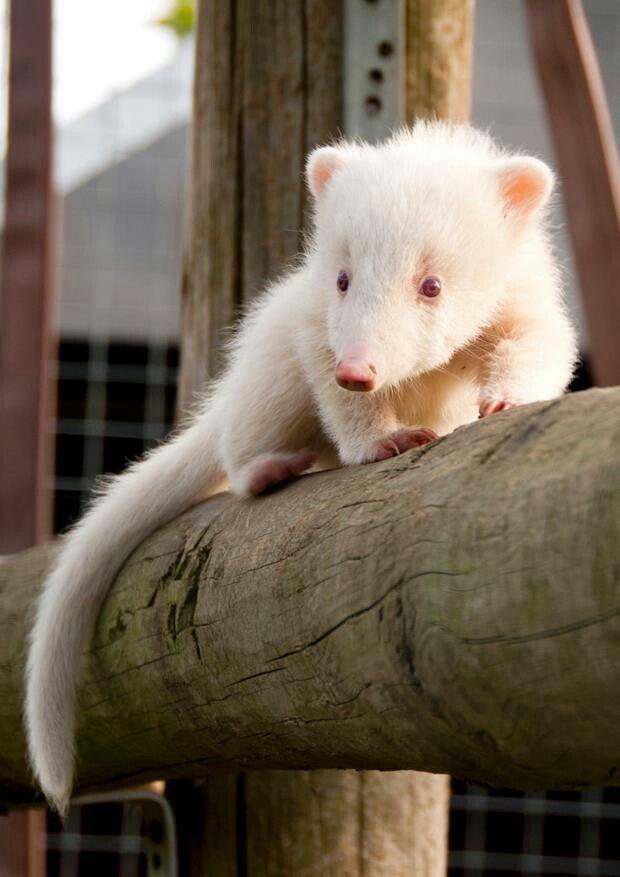 Baby albino coatie @ hamerton wildlife park