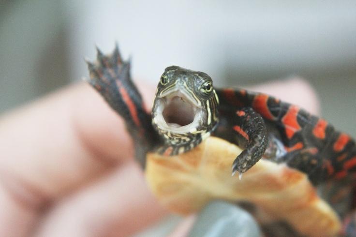 And a wee bit more eeeee!   Cute baby turtles, Cute animal ...