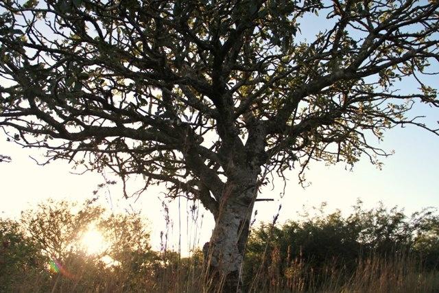 A Sausage Tree (Kigelia Africana) at Ubizane - later the sausage-shaped fruits are amazing ...