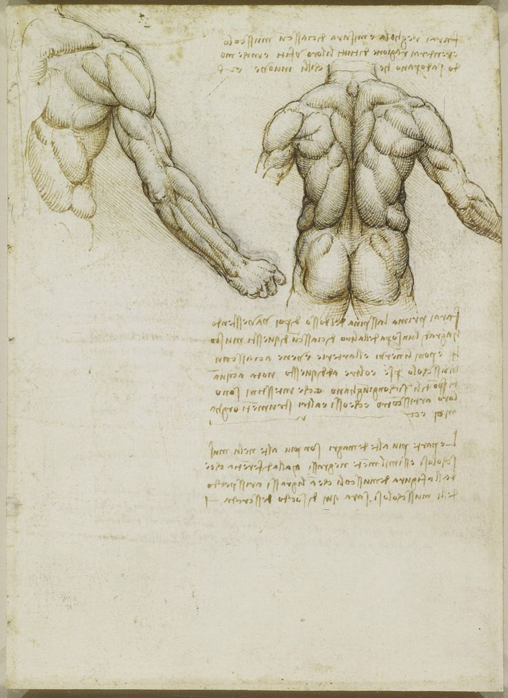 Leonardo Da Vinci (Vinci   Recto: The Muscles Of The Back And Arm. Verso:  Studies Of The Intercostal Muscles  Leonardo Da Vinci Resume